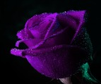 Purple-Rose_13.jpg