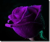 Purple Rose_13